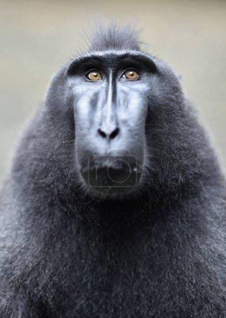 Photo pour Le macaque à crêpes Celebes. Ferme là. Macaque noir à crête, macaque à crête Sulawesi ou singe noir. Habitat naturel. Sulawesi. Indonésie . - image libre de droit