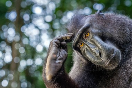 The Celebes crested macaque. Close up portrait. Crested black macaque, Sulawesi crested macaque, or the black ape. Natural habitat. Sulawesi. Indonesia.