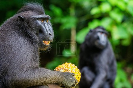 Photo for The Celebes crested macaque eating pineapple. Crested black macaque, Sulawesi crested macaque, or the black ape. Natural habitat. Sulawesi Island. Indonesia. - Royalty Free Image