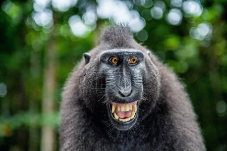 crested macaque with open mouth on the green natural background. Sulawesi crested macaque, or black ape. Natural habitat. Sulawesi Island. Indonesia
