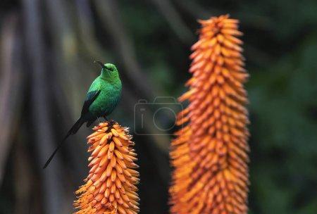 "Photo pour ""A breeding-plumage male of Malachite Sunbird feeding on an Aloe Flower"". Nom scientifique : Nectarinia famosa. Afrique du Sud . - image libre de droit"