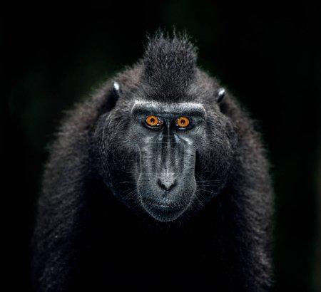 Photo pour Le macaque à crêpes Celebes. Gros plan portrait, vue de face, fond sombre. Macaque noir à crête, macaque à crête Sulawesi ou singe noir. Habitat naturel. Sulawesi. Indonésie. - image libre de droit