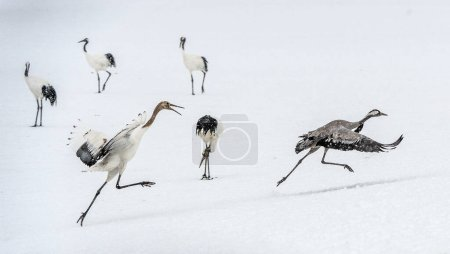 Photo pour La grue grise adulte s'enfuit de la grue juvénile à couronne rouge. Saison d'hiver. Habitat naturel. Japon. - image libre de droit
