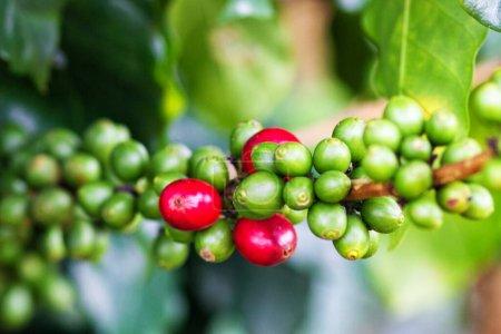 Coffee beans on Laotian farm