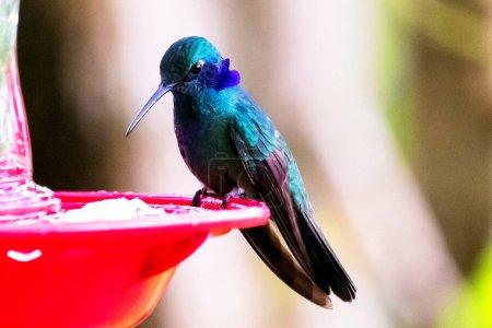 Photo pour Colibri brillant vert vu dans la jungle colombienne. Amérique du Sud - image libre de droit