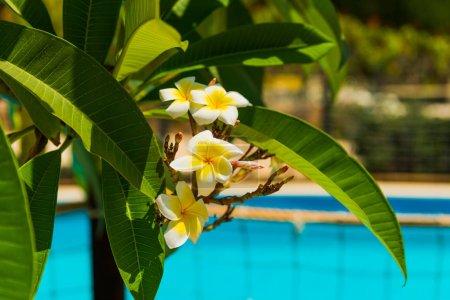 Photo pour Belles fleurs exotiques dans le jardin à fond d'eau de piscine - image libre de droit