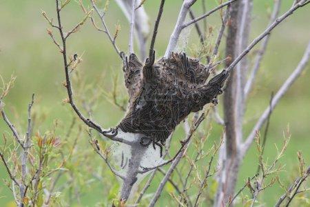 Photo pour Chenilles à tente orientale pour la plupart à l'extérieur du nid soyeux. Caterpillar (Malacosoma americanum) est une espèce de lépidoptère. Ces papillons sont rarement vus. Kingston (Ontario) - image libre de droit