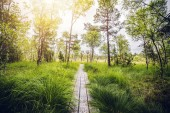 Wooden trail in a swamp area with tall green grass and sunlight trhough the trees