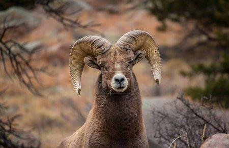Photo pour Gros plan d'un mouton d'Amérique mâchant un morceau d'herbe . - image libre de droit
