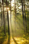 forest at the Baltic coast in Poland with light beams