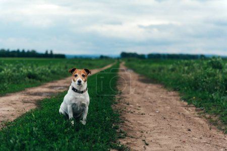 Jack russel terrier on field road