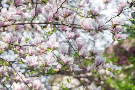 Foto de Rosa flores de magnolia en primavera ramas. Fondo de naturaleza de primavera - Imagen libre de derechos