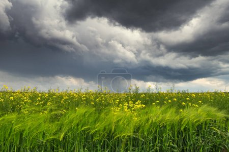 Photo pour Nuages de tempête dramatiques avec pluie sur les champs de colza jaune. Photographie de paysage - image libre de droit