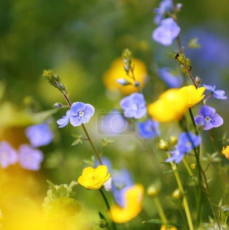 Photo pour Fleurs sauvages au début du printemps sur fond d'herbe verte bokeh. Majestueux fond d'écran nature avec jardin. Printemps floral. - image libre de droit