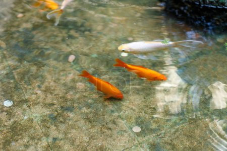 Photo for Fish in the pool with all lucky coins - Royalty Free Image