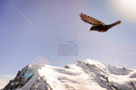 Flock of Alpine Chough (Pyrrhocorax graculus) flying in winter snow mountains