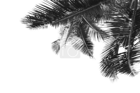 Black and white palm leaves is over white background