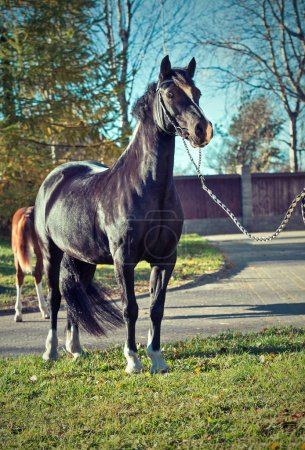 beautiful black  welsh pony mare