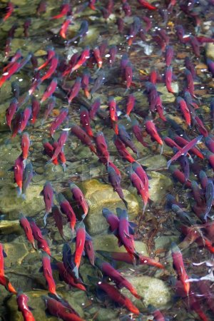 Large numbers of salmons spawning in shallow river