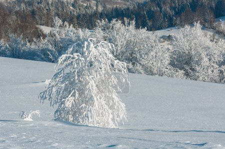 Foto de Mañana invierno tranquilo paisaje de montaña con hermosos árboles de glaseado y ventisqueros en la pendiente (montañas de los Cárpatos, Ucrania ) - Imagen libre de derechos