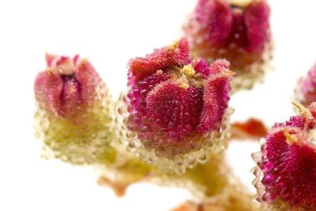 Flora of Gran Canaria Mesembryanthemum