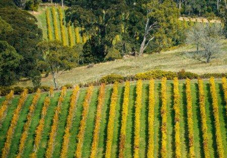 Photo pour Vignoble dans les collines d'Adélaïde, Australie-méridionale - image libre de droit