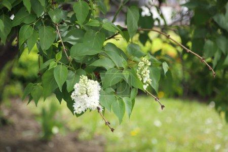 Photo pour Image extérieure de beau buisson de lilac, Moscou, Russie. Mise au point sélective. - image libre de droit