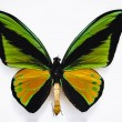 Постер, плакат: Close up on a Goliath birdwing butterfly isolated on white background