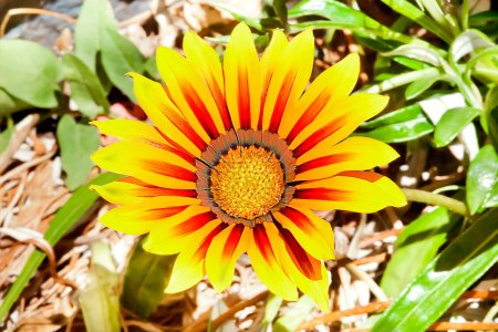 Photo for Sunflower with long red and yellow petals spread in a forest, the ground is blurred and filled with green leaves and grasses. - Royalty Free Image