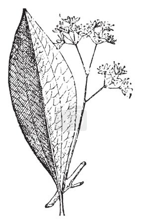 Cinnamon, vintage engraved illustration. Dictionary of words and things - Larive and Fleury - 1895