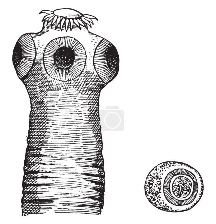 Head of taenia solium, vintage engraved illustration