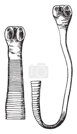 Cephalic end of Taenia saginata, vintage engraved illustration