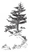 This image represents Rabbits Hopping around a large pine tree vintage line drawing or engraving illustration