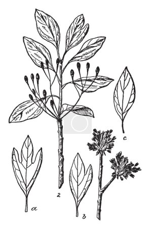 Sassafras plant having three distinct leaf patterns on the same plant. It is a genus of three extant in the family Lauraceae, native to eastern North America and eastern Asia, vintage line drawing or engraving illustration.