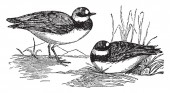 Common Dotterel is a small wader in the plover family of birds vintage line drawing or engraving illustration