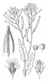 Picture of Cistus plant It is also known as rockrose flower Image is showing its ovary flower and calyx and seed part Flowers are small in size and developed on the top of the plant vintage line drawing or engraving illustration