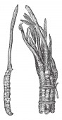 This is image of Cordycep fungus Cordyceps species are particularly abundant and diverse in humid temperate and tropical forests vintage line drawing or engraving illustration