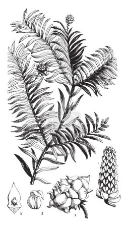A picture showing different parts of Prince Albert's Yew also known as Saxe-Gothea Conspicua, vintage line drawing or engraving illustration.