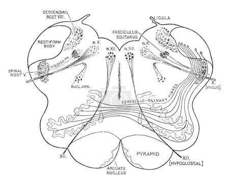 Diagram of the cerebello olivary fibers, vintage line drawing or engraving illustration.
