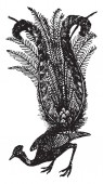 Lyre bird has the tail feathers arranged to look like a lyre vintage line drawing or engraving illustration