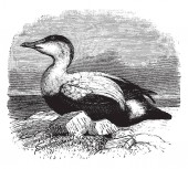 Elder Duck is a large sea duck of the Anatidae family vintage line drawing or engraving illustration