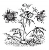 The Eurasian genus Helleborus consists of approximately 20 species of herbaceous These flower colors are purplish There are two or three flowers in every twig as shown in picture vintage line drawing or engraving illustration