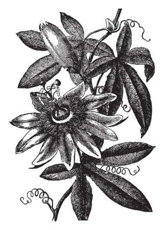 Passion Flower also known as Passiflora. It is an evergreen climber with exotic looking flowers, sometimes followed by brightly coloured fruits, vintage line drawing or engraving illustration.