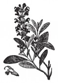 A picture showing the branch and flower of Sage plant It is a plant used for flavoring meats etc It has blue flowers and has been found with many varieties vintage line drawing or engraving illustration