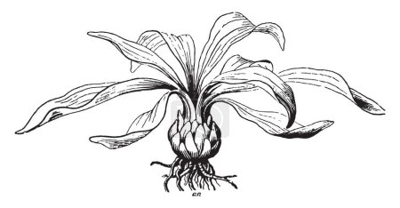 A picture is showing Lily Bulb. It belongs to Liliaceae family. Bulb is the fleshy underground bud. This bulb is essentially globular in shape, vintage line drawing or engraving illustration.