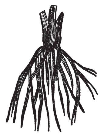 Illustration pour Une photo des racines fibreuses. Ces racines se développent à partir des racines adventives découlant de la tige de la plante et généralement ne pénètrent pas le sol très profondément, vintage line illustration dessin ou gravure. - image libre de droit