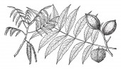 In this picture there are two branches of Water Hickory tree This branch has two fruits This branch has parallel pair of leaves It is also called as Hicoria aquatica vintage line drawing or engraving illustration