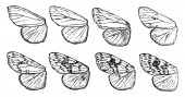 Fall Webworm Wings is a Hyphantria cunea vintage line drawing or engraving illustration