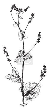 Illustration pour Fagopyrum Tataricum est les espèces dans la famille des Polygonaceae. Flèche en forme de feuilles disposées sur le nœud de la tige et les branches sont alternes. Fleurs sur tige fin, vintage dessin au trait ou une gravure illustration. - image libre de droit