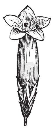 Illustration pour Epacris impressa fleurs apparaissent en grappes denses et parfois pendantes le long des tiges. Blanc, rose ou rouge en couleur, dessin au trait vintage ou illustration de gravure. - image libre de droit
